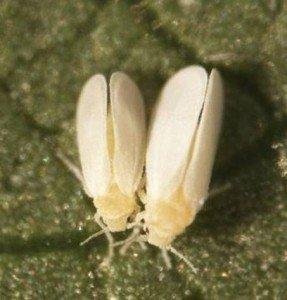 Silverleaf Whitefly