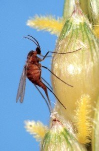 Female sorghum midge laying eggs in sorghum floret.