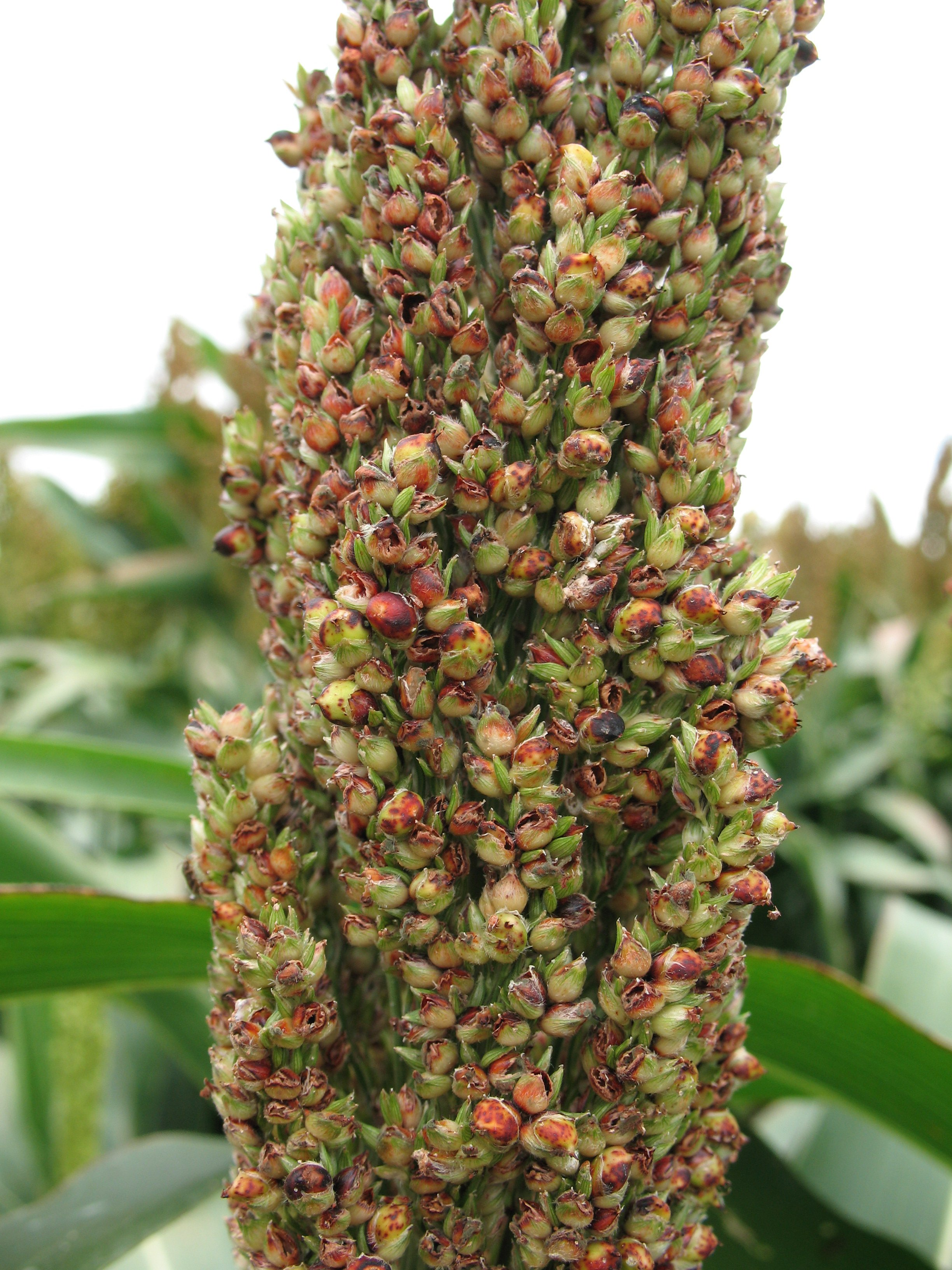 Developing sorghum head showing signs of RGB damage; undeveloped seed, and spotting on developing seed.