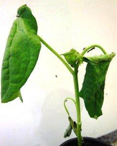 Symptoms of RGB feeding on a cotton seedling.