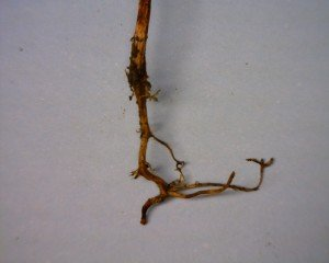 Side root development caused by tipping out of the taproot.