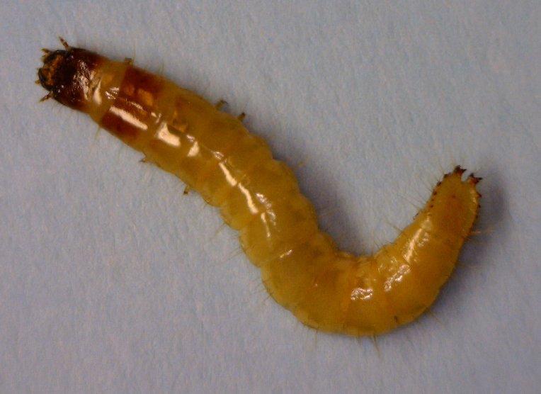 Wireworm larvae (20mm)