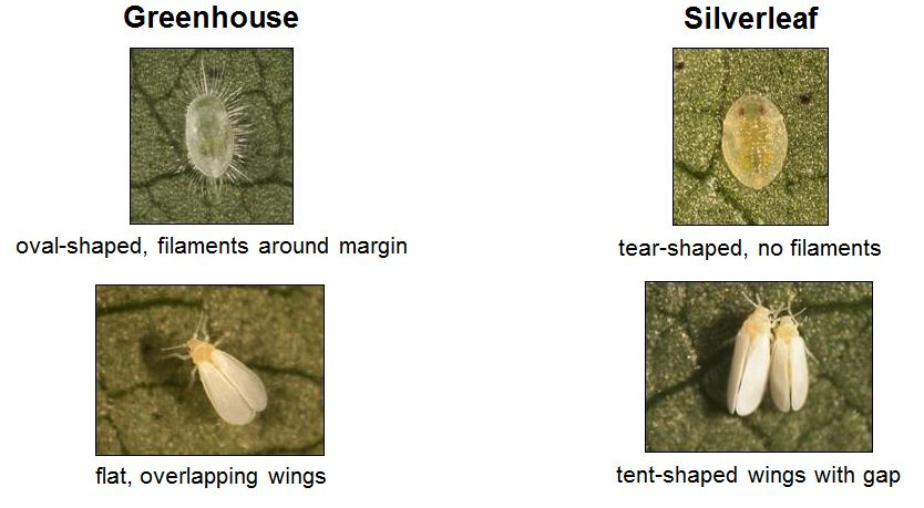 Distinguishing Greenhouse and Silverleaf Whitefly nymphs and adults.