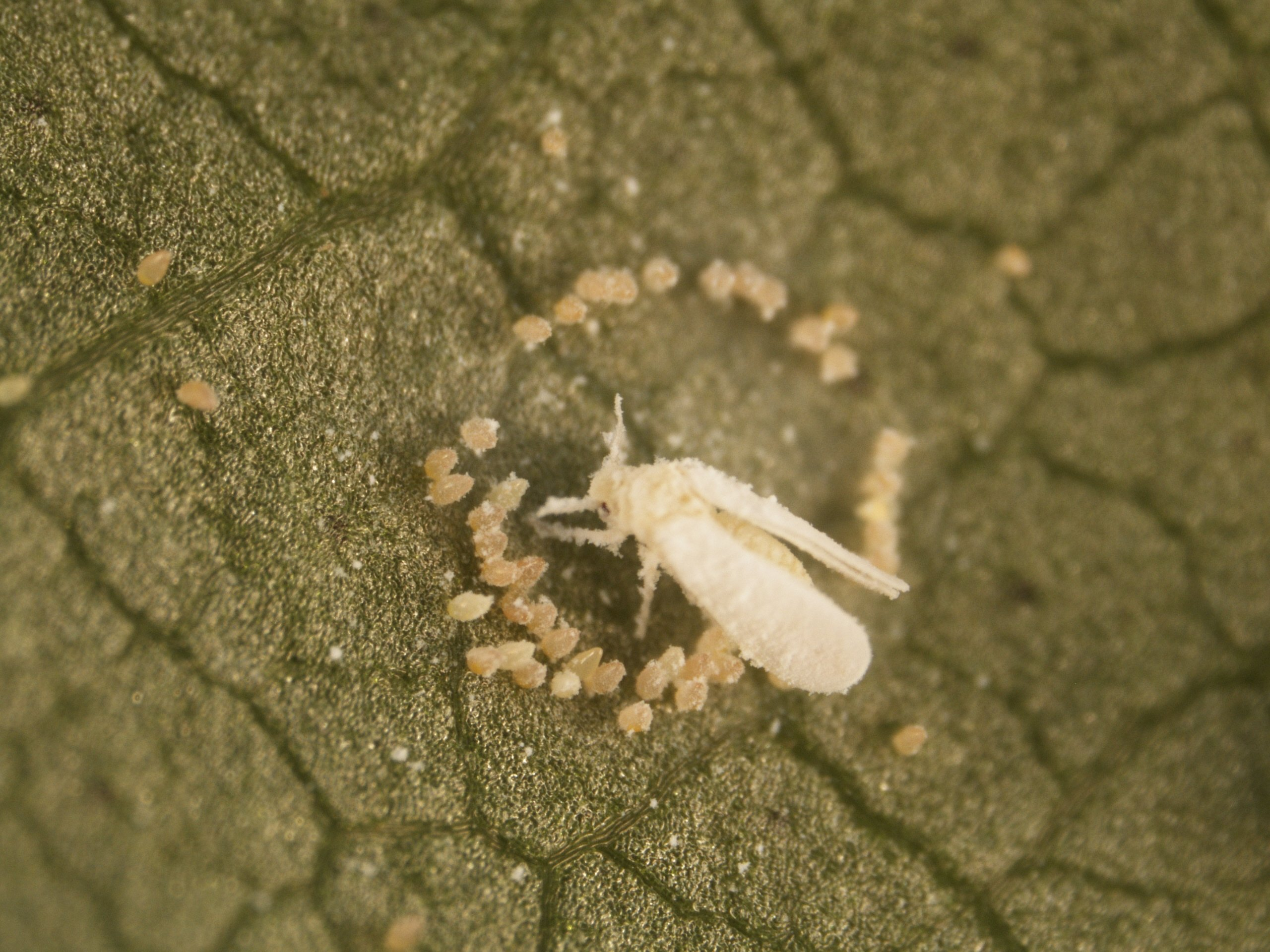 Silverleaf whitefly adult with eggs.