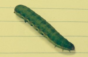 Large lesser armyworm larva (Spodoptera exigua) from faba beans. Photo: Chris Teague.