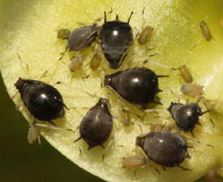 Shiny black adult cowpea aphid and grey-green juveniles.