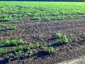 Large patches of dead plants in infested field peas