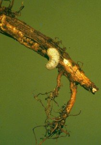 White-fringed weevil larva and damage to peanut tap root