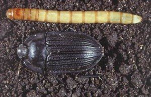 False wireworm larvae and adult