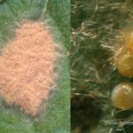 Spodoptera (cluster caterpillar)