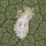 Solenopsis mealybug by Zara Hall
