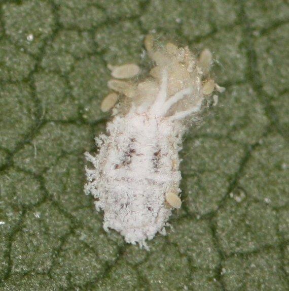 Solenopsis mealybug by Zara Hall
