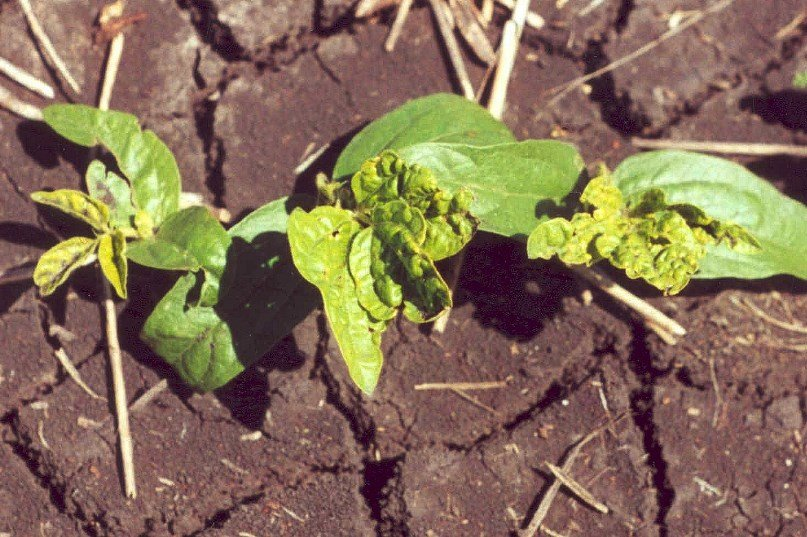 Seedling thrips damage to tri-foliate leaves in  spring mungbean