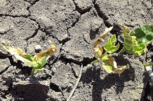Seedling thrips damage on the first true leaves in spring mungbeans at Goondiwindi. Image by Andrew Walker