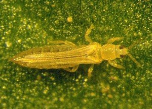 Adult seedling thrips. Image by Lewis Wilson