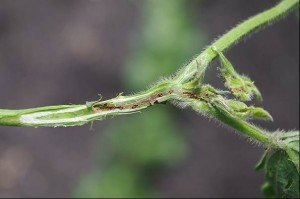 Etiella damage to mungbean stem