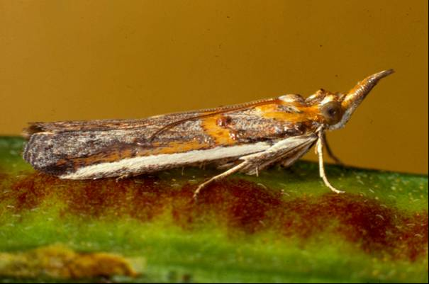 Etiella moth - 12 mm long