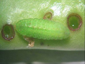 Close-up of navy bean pod damage caused by grass blue butterfly larvae