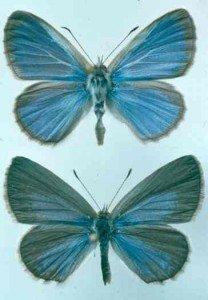 Grass blue butterflies