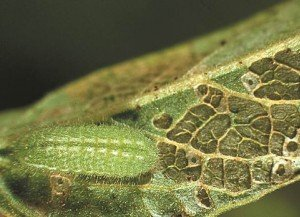 Typical leaf damage caused by grass blue butterfly larvae