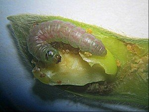 Large etiella larva (13 mm) in soybean pod.  Note pinkish colour typical of large larvae approaching pupation