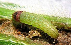 Medium etiella larva (5 mm), with typical pale green colour and pink stripes.