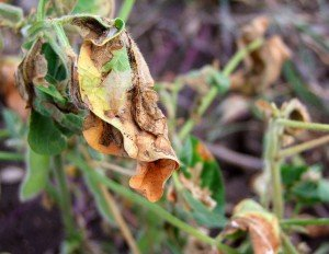 Soybean moth damage