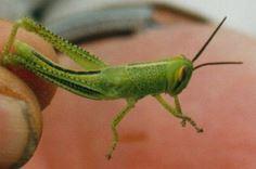 Spur-throated locust nymph (QDAFF)