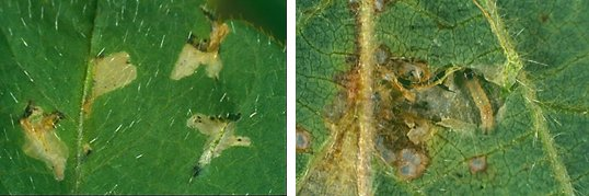 Fig. 3: Mines (blisters) made by small soybean moth larvae, and medium soybean moth larva (4.5 mm)  Joe Wessels DAF