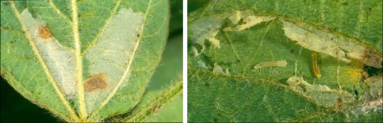 Fig. 4: Soybean leafminer damage and large larvae (3 mm) Joe Wessels DAF