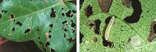 Cotton leaf perforator damage and large larva (9 mm).  Note the scribbly mines made by small larvae and the perforations made by larger larvae.  C. Mares CSIRO
