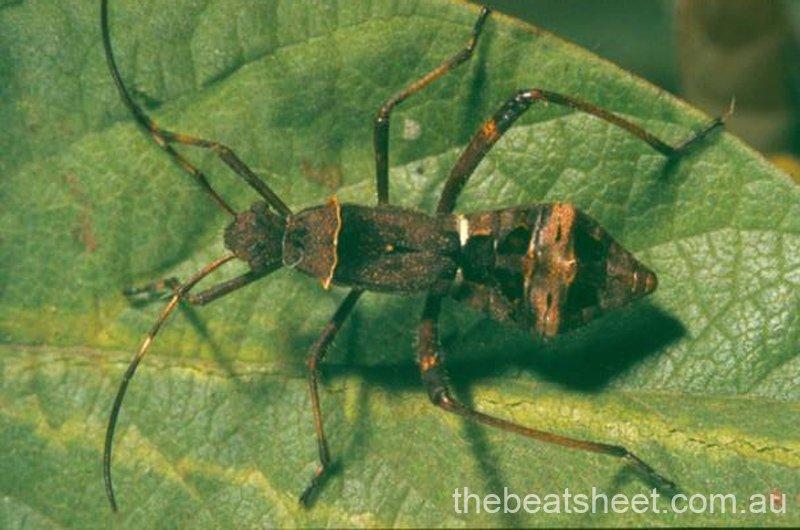 Fifth instar