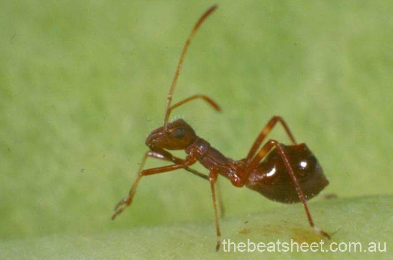 Third instar (4 mm)