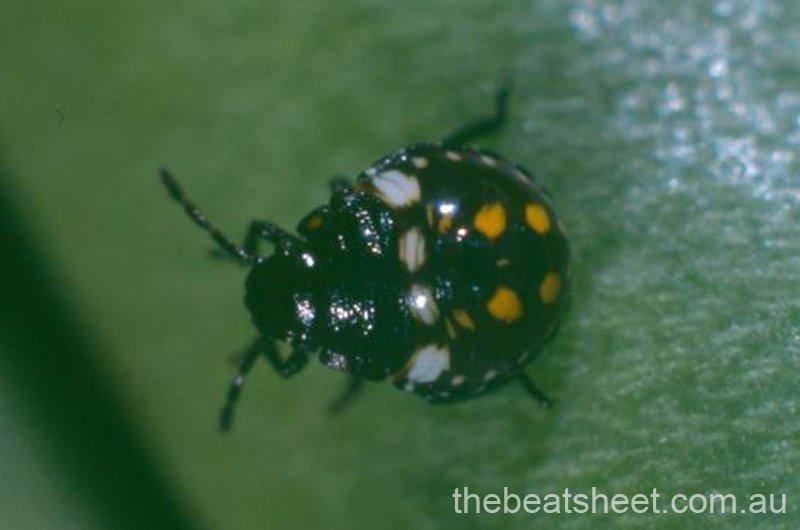 Second instar (2 mm)