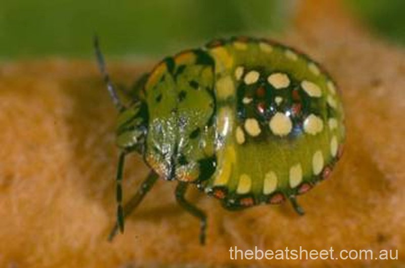 Fourth instar (8mm)