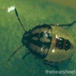 Third instar (3.5 mm)