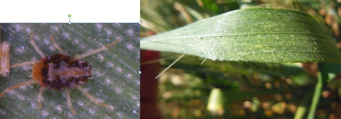 Brown wheat mite (left) and typical mottling on leaves of an infested plant.