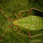 3rd instar