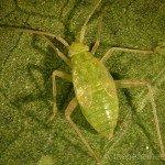 4th instar
