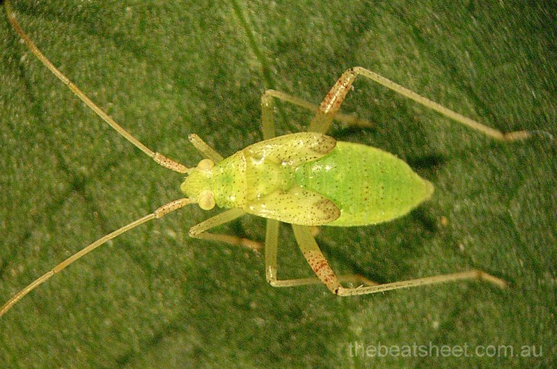 Late instar green mirid nymph.
