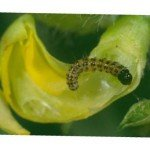 Small bean podborer larva in flower (2nd instar 5 mm) – note prominent spots