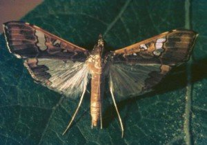 Bean podborer moth