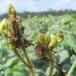 Damage to flowering mungbean racemes