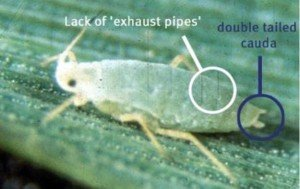 Wingless Russian wheat aphid adult