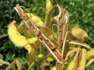 Soybean stem with severe LCB damage (Natalie Moore NSW DPI)