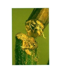 Girdling to soybean stem caused by lucerne crown borer (Joe Wessels, DAF). Note how the stem has browned off and died above the girdle.