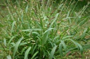 beatsheet_sep16_widderick_barnyard-grass-1