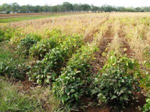 Crop greening