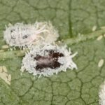 Parasitised mealybug