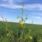 image of flowering pigeon pea suitable for cotton refuges